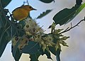Prothonotary Warbler (15639478746).jpg