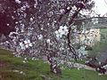 Prunus dulcis-jerusalem.jpg