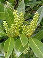 Prunus laurocerasus à Grez-Doiceau 001.jpg