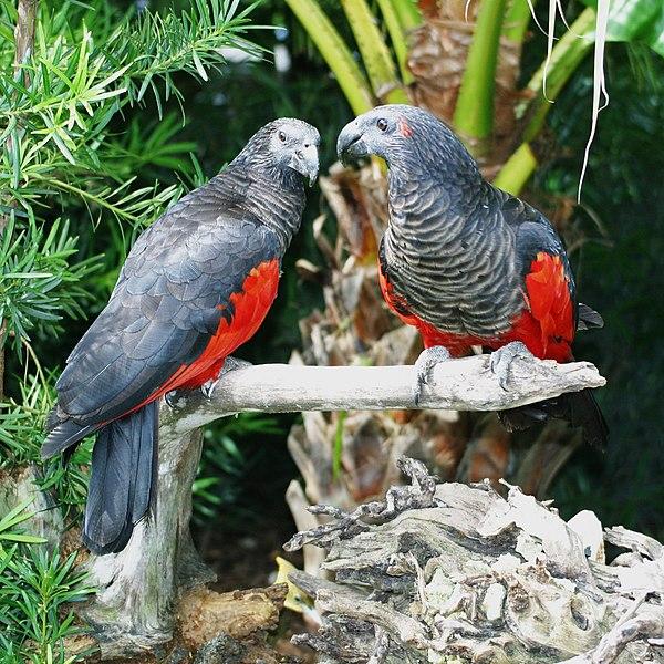 Pesquet's parrots