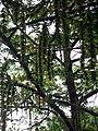 PterocaryaStenoptera2.jpg