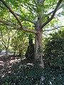 Pterocarya tonkinensis - J. C. Raulston Arboretum - DSC06124.JPG