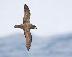 Pterodroma macroptera in flight 3 - SE Tasmania.jpg