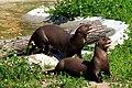 Pteronura brasiliensis (Alua and Yumbo) Parken Zoo.jpg