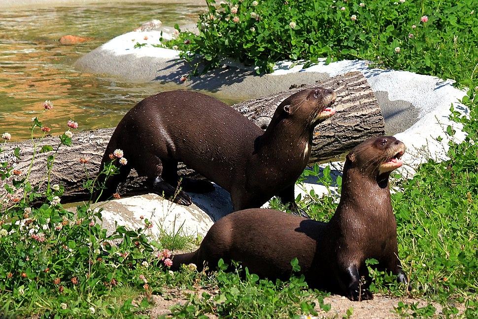 Pteronura brasiliensis (Alua and Yumbo) Parken Zoo