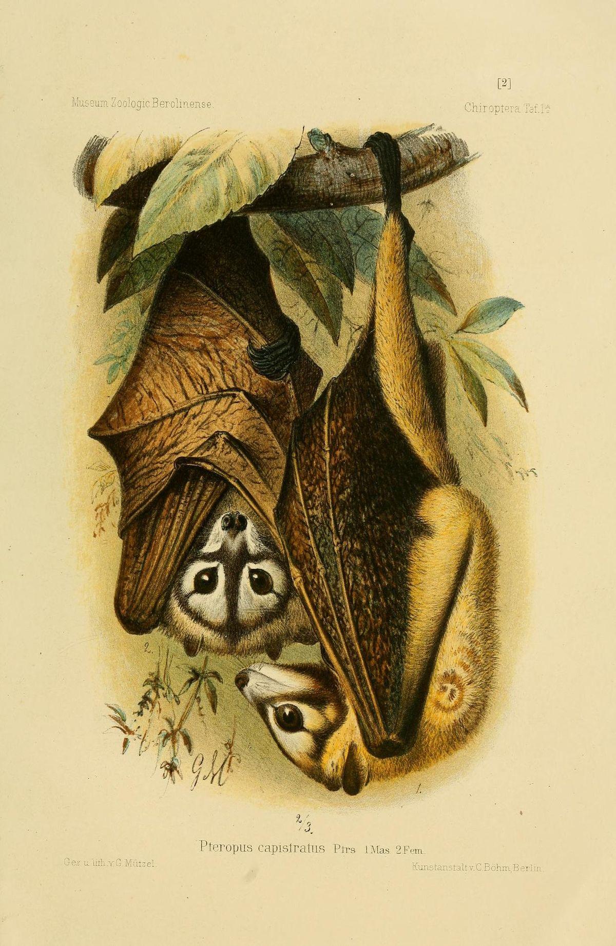 Bismarck masked flying fox - Wikipedia