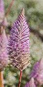 Ptilotus exaltatus, jardín botánico de Tallinn, Estonia, 2012-08-13, DD 01.JPG