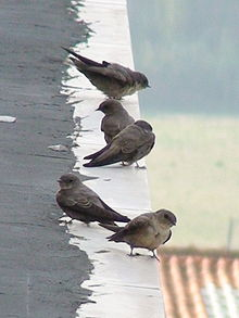 Five small brownish swallow-like birds perched on a roof