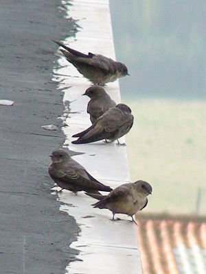 Ptyonoprogne rupestris -Alcobaca, Portugal -perching on roof.jpg