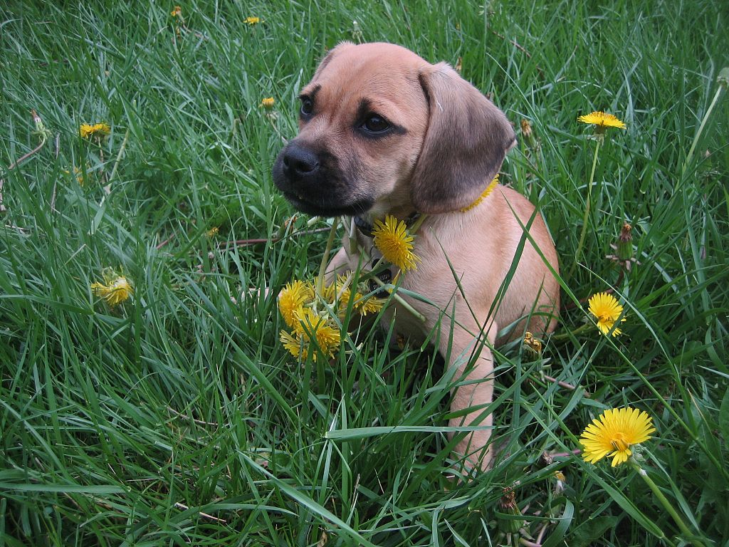 Puggle Is A Cross Between What Breeds Of Dogs