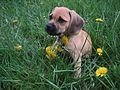 Puggle puppy.jpg