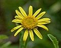 Pulicaria wightiana (Sontikli) in Hyderabad, AP W IMG 0010.jpg