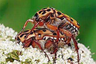 Beetle - Punctate flower chafers (Neorrhina punctata, Scarabaeidae) mating