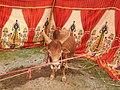 Punganur cattle-5-praba pet-salem-India.jpg