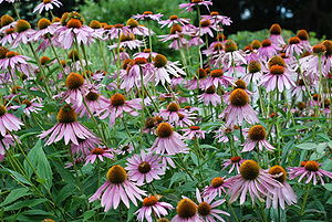 English: Purple Coneflower
