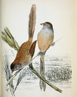 Jerdon's babbler - 1876 illustration of Jerdon's babbler