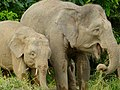 Pygmy Elephants (Elephas maximus borneensis) mother and son (8074119227).jpg