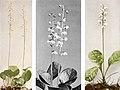 Pyrola asarifolia, americana, elliptica WFNY-151.jpg