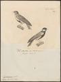 Pyrrhulauda leucotis - 1700-1880 - Print - Iconographia Zoologica - Special Collections University of Amsterdam - UBA01 IZ16100393.tif