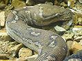 Python anchietae (2).jpg