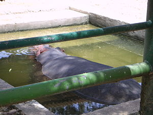 Qalqilya Zoo - Hippo at Qalqilya Zoo, 2006