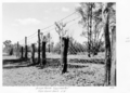 Queensland State Archives 5037 Dingo Fence Launceston two rows barb 56 1952.png