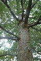 Quercus oglethorpensis (24185302055).jpg