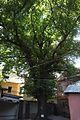 Quercus robur, Observatornyi Provulok, Odessa.jpg