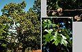 Quercus velutina.jpg