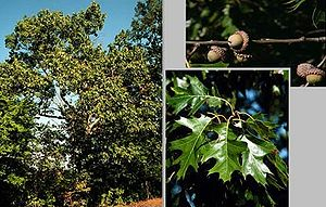 Quercus velutina - Image: Quercus velutina