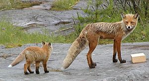 Two red foxes.
