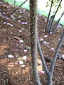R.acicularis nipponensis thorns.JPG