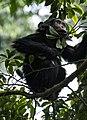 RWA 4492.review 1 Rwanda Chimp Baby.jpg