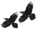 Raaf Corvus corax Jos Zwarts 2.tif