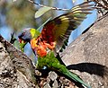 Rainbow Lorikeet ...take off - Flickr - gailhampshire.jpg