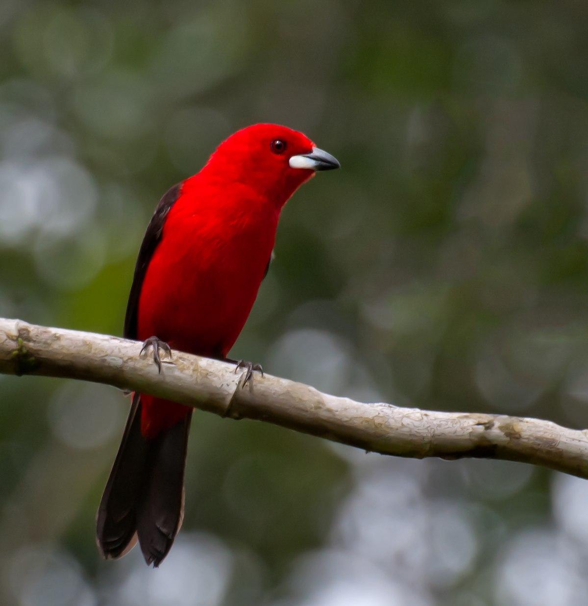 [Image: 1200px-Ramphocelus_bresilius_-Sao_Paulo_...male-8.jpg]