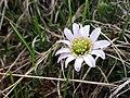 Ranuncolo di Kerner (Callianthemum kernerianum Freyn ex A. Kern) 1.jpg