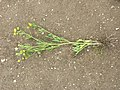 Ranunculus arvensis sl3.jpg