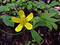 Ranunculus caricetorum - Swamp Buttercup.jpg