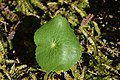 Ranunculus lyallii in Fiordland National Park 01.jpg