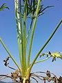 Ranunculus polyanthemos (s. str.) sl7.jpg