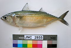 Rastrelliger kanagurta JNC2855 with colour chart.JPG