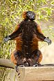 Red-Ruffed Lemur (16276714654).jpg