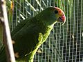 Red-browed Amazon (Amazona rhodocorytha) -zoo4.jpg