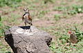 Red-capped lark, Calandrella cinerea, at Mapungubwe National Park, Limpopo, South Africa (24142912815).jpg