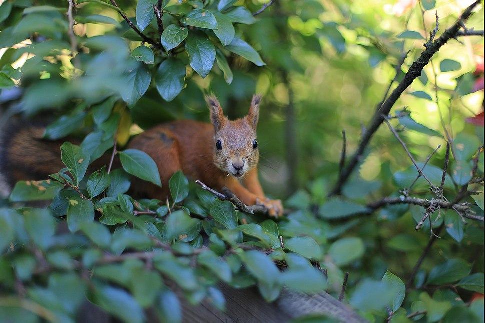 Red-squirrel-orava-a-alanenpaa-2015-10-25