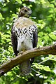 Red-tailed Hawk (fledgling) (26960920293).jpg