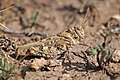 Red-winged grasshopper (Oedipoda miniata).jpg
