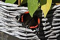 Red Admiral Butterfly (35956766840).jpg