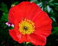 Red Poppy (5544793143).jpg